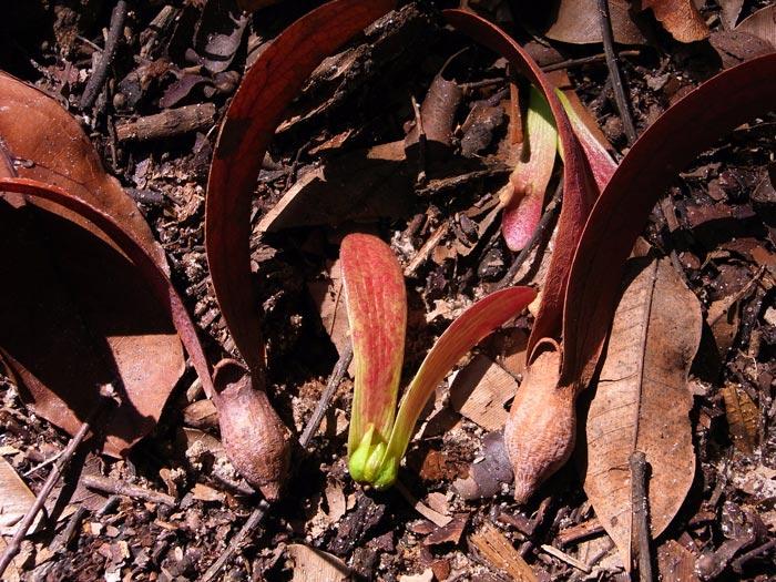 Dipterocarp seeds