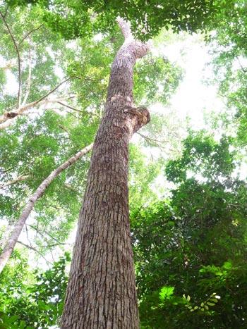 Shorea parvifolia