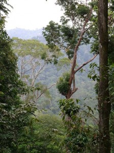 Dipterocarp forest of Sungai Yu
