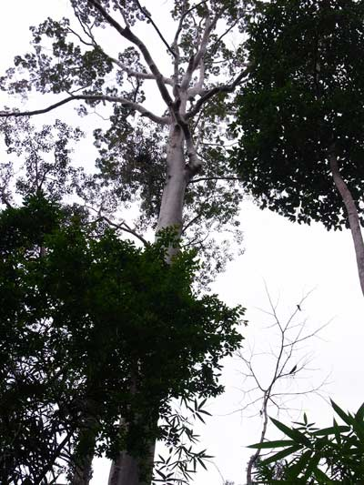 A medium sized tualang tree