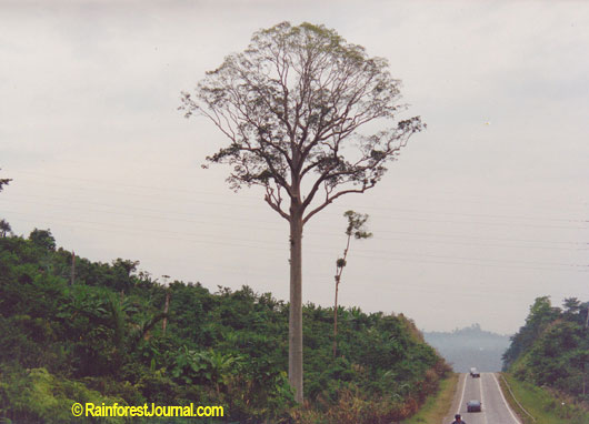 giant tualang tree