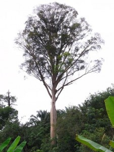Tualang or mengaris tree