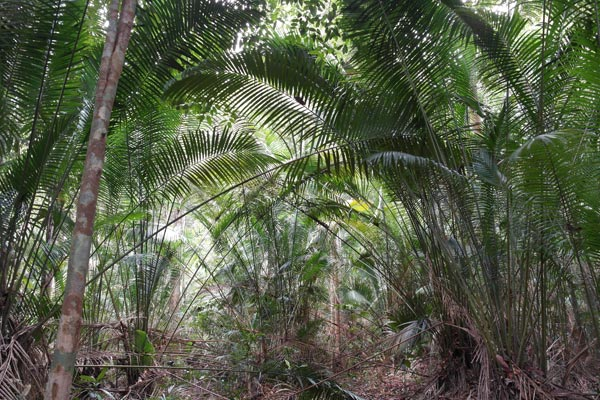 Bertam palm thicket