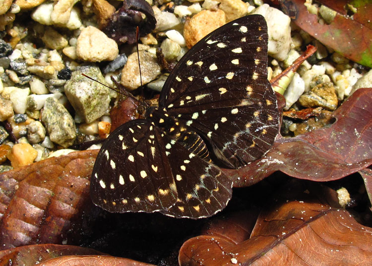 Female Archduke butterfly