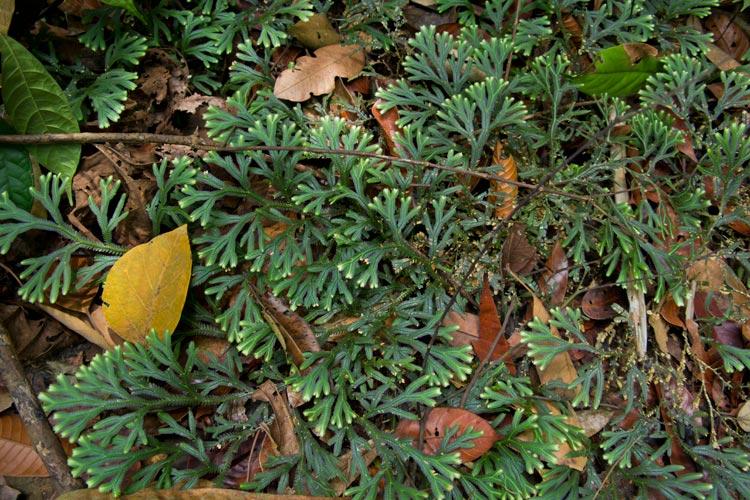 Selaginella fern