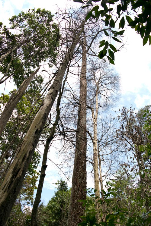 Dead trees in Puchong Ayer Hitam forest