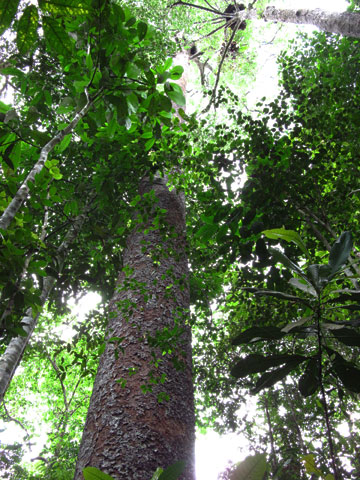 Largest tree in Ayer Hitam forest