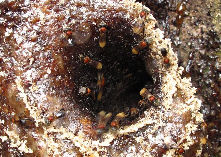 Trigona stingless bees
