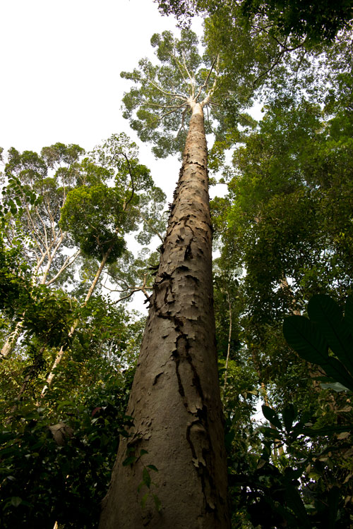 A large keruing tree