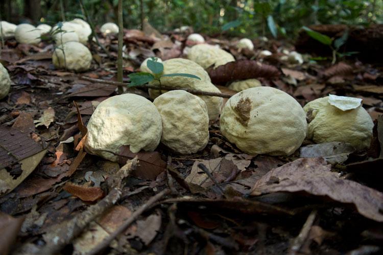 Strange puffball fungi
