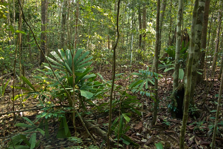 Undergrowth of lowland rainforest
