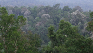 Bukit Cerakah dying forest