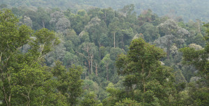 Dying forest in Bukit Cerakah