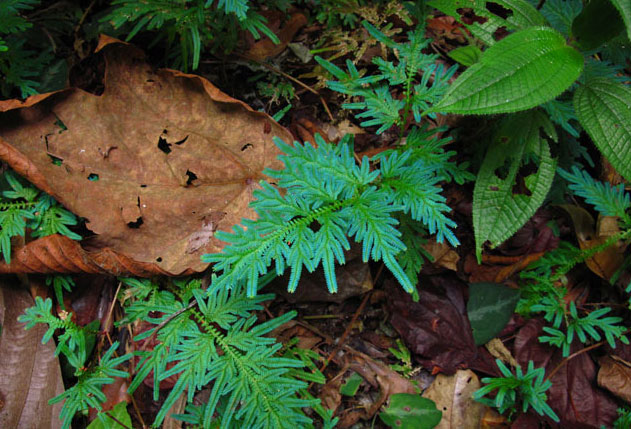 Selaginella willdenowii