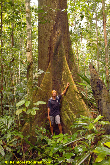Big tree in virgin rainforest