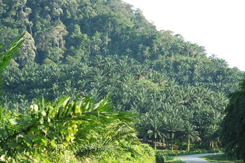 Oil palm threatening Gunung Pulai