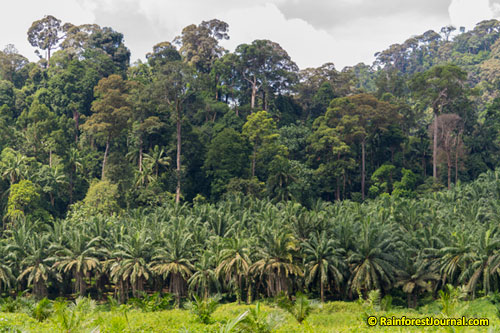 primary lowland rainforest next to oil palm