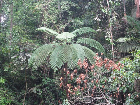 Cyathea tree fern