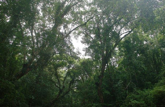 Dipterocarpus oblongifolius canopy