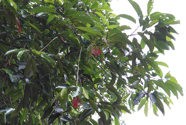 Neram leaves and fruits