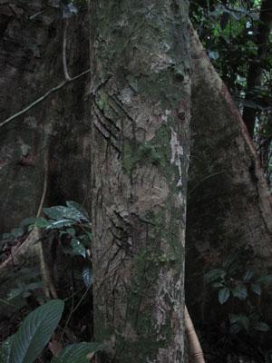 Sun bear claw marks