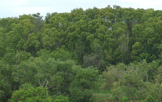 Avicenna-Bruguiera forest