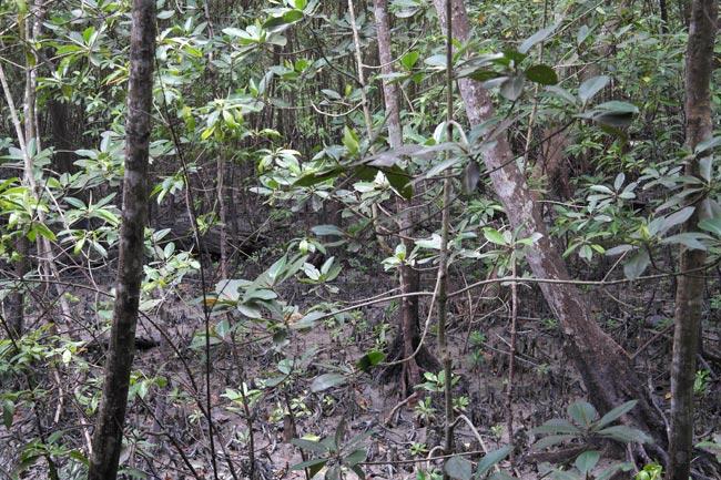 Avicennia-Bruguiera forest interior