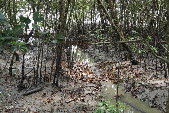 Avicennia Sonneratia forest