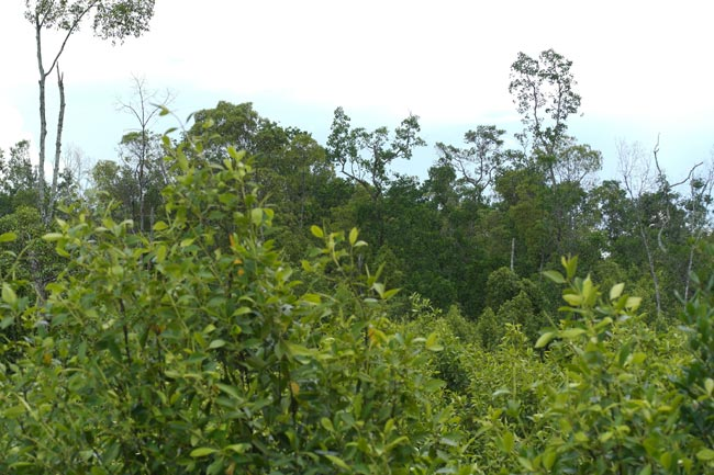 Mangrove forest silviculture management