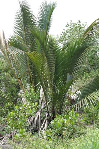 Nipah palm