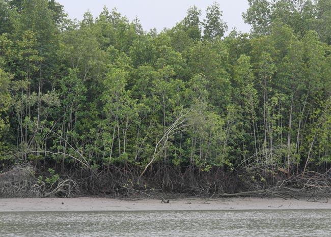 Rhizophora mangrove forest