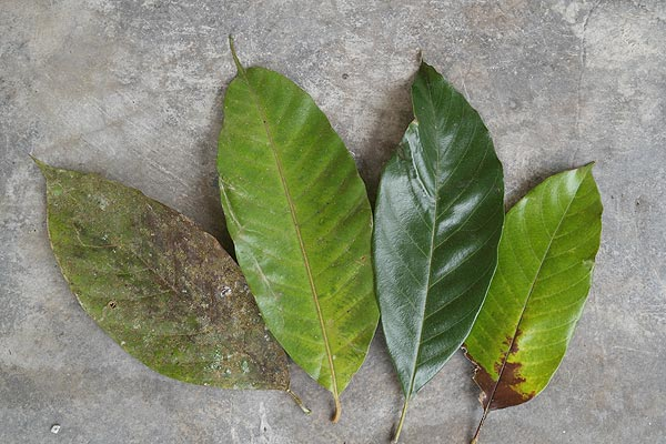 Chengal leaves