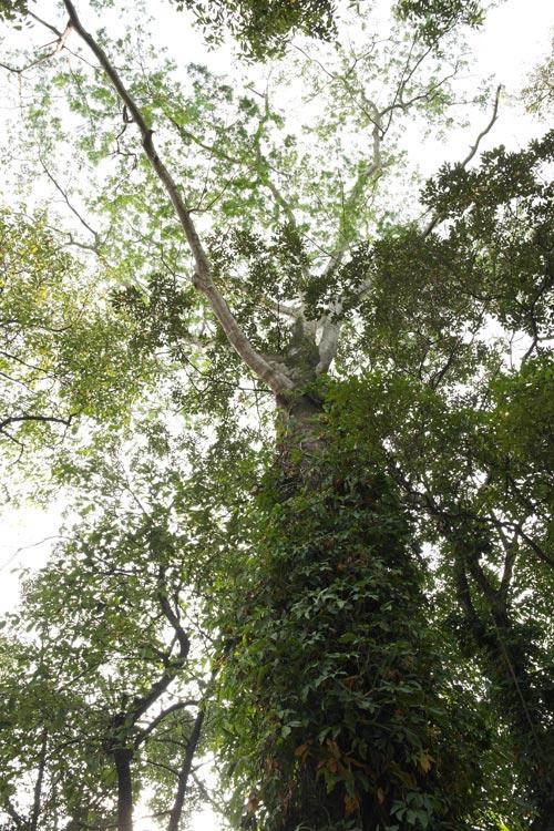Batai tree