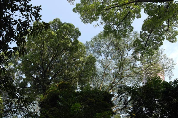Looking up the tree canopy of Bukit Nanas