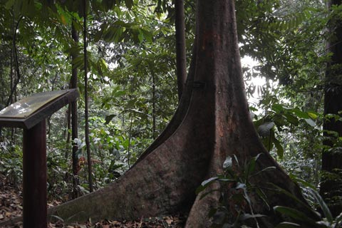 Toona sureni tree