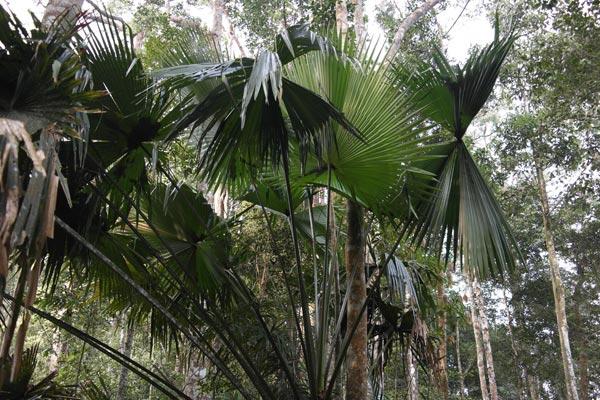 Serdang palm