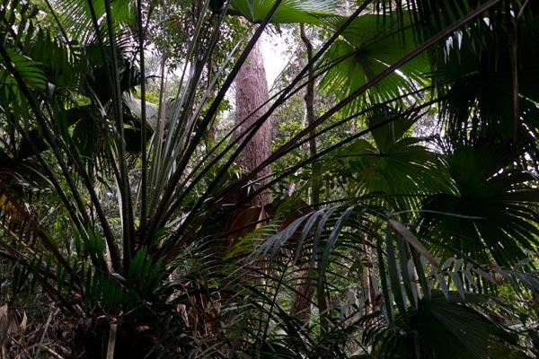 Telapak Buruk rainforest