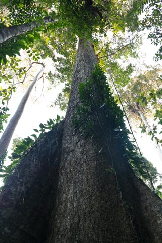 Big Mersawa tree