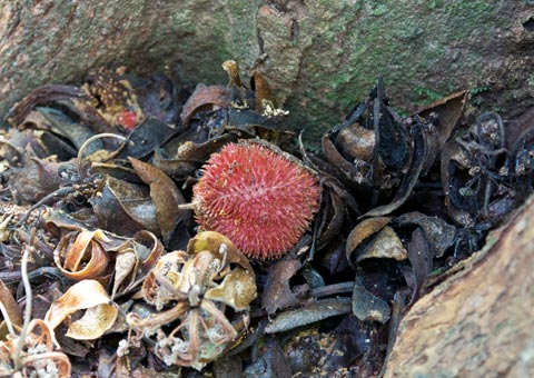 New red durian species