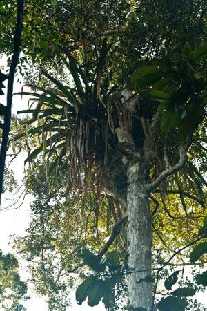 Pandanus epiphyticus
