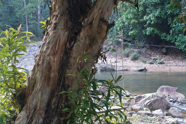Pelawan tree by the Selai River