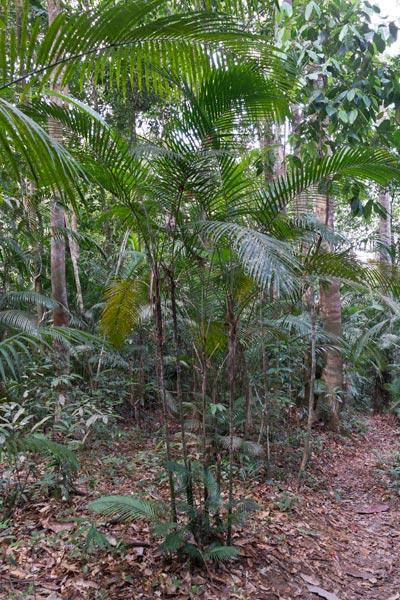 Rhopaloblaste singaporensis