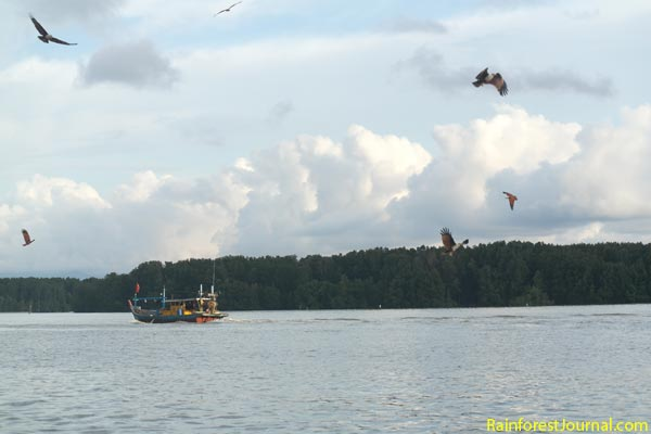 brahminy kites feeding