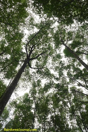 mangrove forest canopy