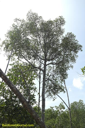 rhizophora apiculata tree