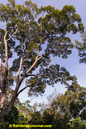 emergent trees in the rainforest