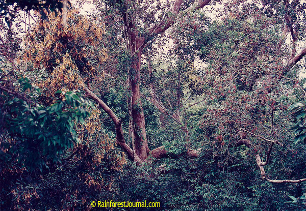 rainforest canopy flowering