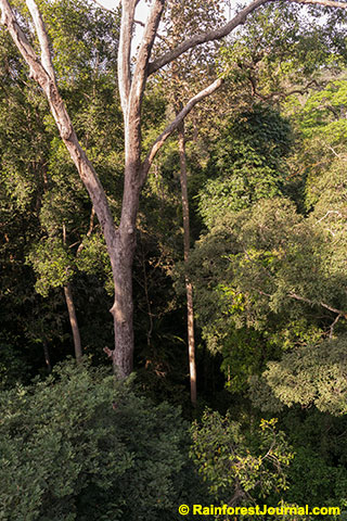 rainforest canopy and subcanopy