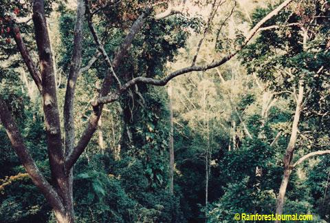 rainforest subcanopy