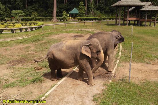 asian elephants kuala gandah